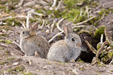 Wild European rabbits