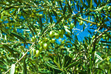 Green Olive trees at Greece country side