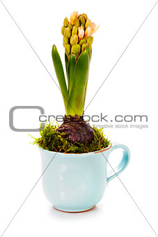 growing spring flower in a cup (spring concept)