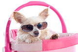 chihuahua and sunglasses