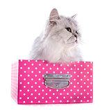 persian cat in box