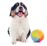 puppy australian shepherd and ball
