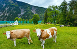 Achensee summer landscape and herd of cattle (Austria).