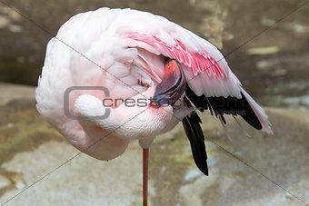 Flamingo Standing on One Leg Grooming