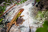 Small Colorful Lizard