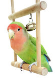 Lovebird on swing