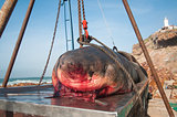 Dead Great White Shark