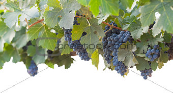 Beautiful Lush Grape Bushels and Vines on White