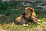 Male lion lying