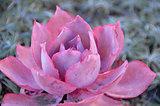 pink Echeveria Succulent Plant