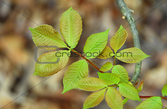Green poison ivy Leaves