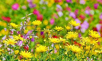 beautiful yellow flowers in field