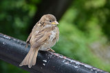 Fledged sparrow is sitting on the rail