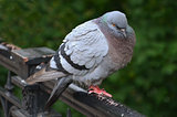 Fledged gray pigeon is sitting on the rail