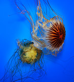 Swimming  Jellyfish