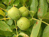Three unripe walnuts on a branch