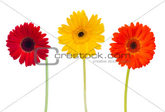 three  daisy herbera flowers