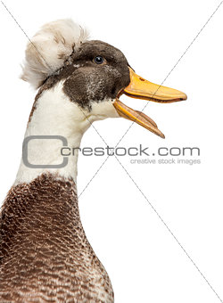 Close up of a Male Crested Ducks, lophonetta specularioides, qua
