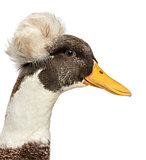 Close up of a Male Crested Ducks, lophonetta specularioides, iso