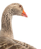 Close-up of a Domestic goose, Anser anser domesticus, isolated o