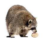 Racoon, Procyon Iotor,  standing, eating an egg, isolated on whi