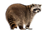 Rear view of a Racoon, Procyon Iotor, standing, isolated on whit