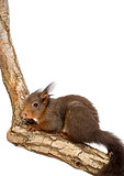 Red squirrel or Eurasian red squirrel, Sciurus vulgaris, standin