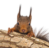 Close-up of a Red squirrel or Eurasian red squirrel, Sciurus vul
