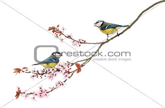 Two Blue Tits whistling on a flowering branch, Cyanistes caerule
