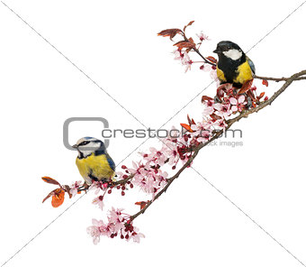 Great Tit and Blue Tit perched on a blossoming branch, isolated