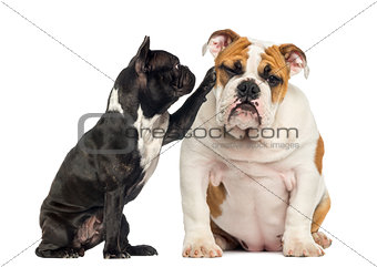 French bulldog reaching at a bored English bulldog, isolated on