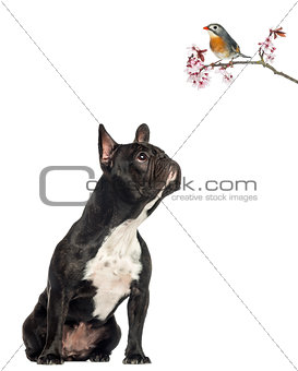 French Bulldog sitting, looking up a red-billed Leiothrix on a b