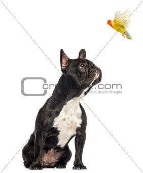 French Bulldog sitting, looking up at a flying lovebird, isolate