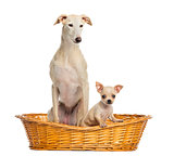 Whippet and Chihuahua puppy in wicker basket, isolated on white
