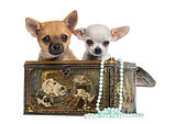 Two Chihuahua puppies in a vintage box, 4 months old, isolated o