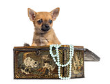 Chihuahua puppy in a vintage box, 4 months old, isolated on whit