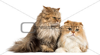 British Longhair sitting and Highland Fold lying, isolated on wh