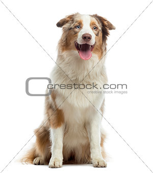 Australian Shepherd puppy, sitting and panting, 10 months old, i