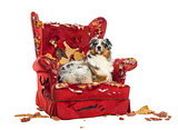 Australian Shepherd lying proudly on a detroyed armchair, isolat
