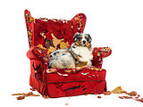Australian Shepherd lying on a detroyed armchair, isolated on wh