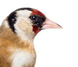 Close-up of a European Goldfinch, carduelis carduelis, isolated