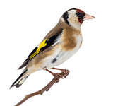 European Goldfinch, carduelis carduelis, perched on a branch, is