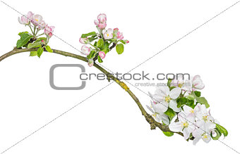 Branch of Japanese cherry, Prunus serrulata, blossoming, isolate