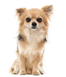 Chihuahua sitting and facing, looking at the camera, isolated on