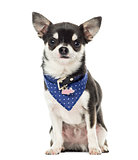 Chihuahua wearing a bandana collar, sitting, isolated on white