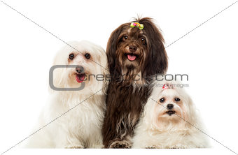 Group of panting dogs, Maltese and Havanese, isolated on white