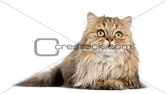 British Longhair lying, looking up, isolated on white