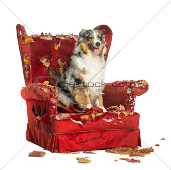 Australian Shepherd sitting on a detroyed armchair, isolated on