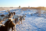 goat herd on snow pasture