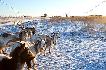 goat herd on snow pasture